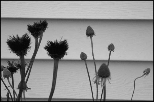 dead_flowerheads.jpg
