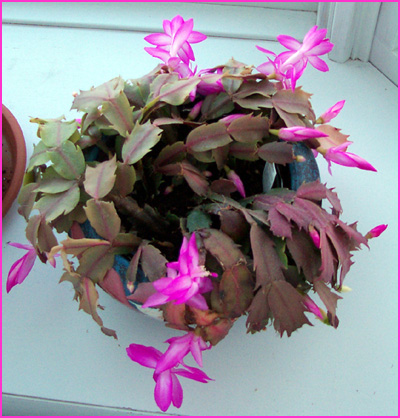 xmas_cactus.jpg