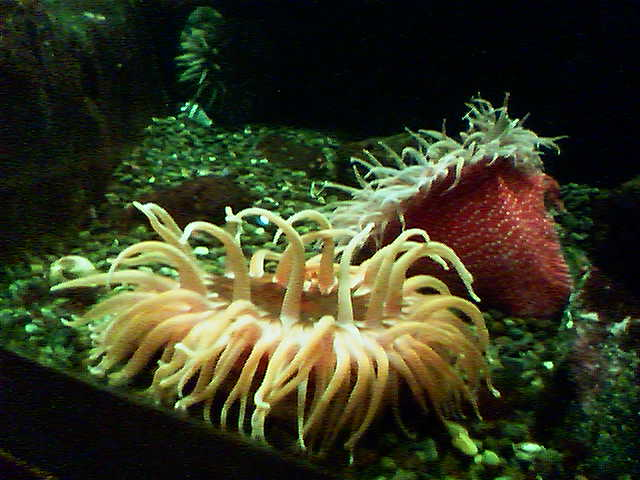 Anemones_zoo