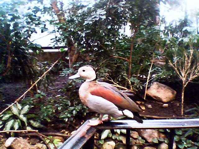 Duck_zoo