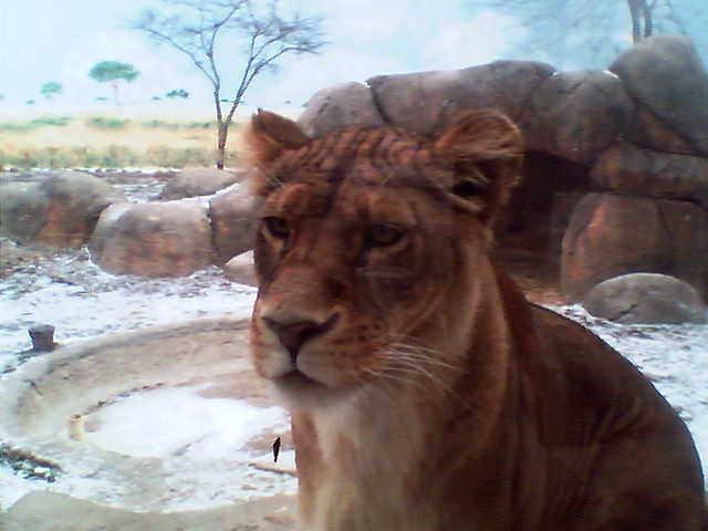 Picture_of_lion_from_zoo