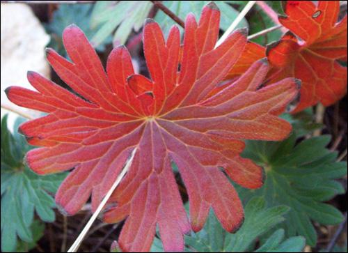 Geranium_leaves_modified